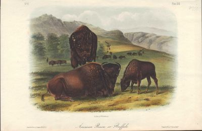 Image for American Bison or Buffalo