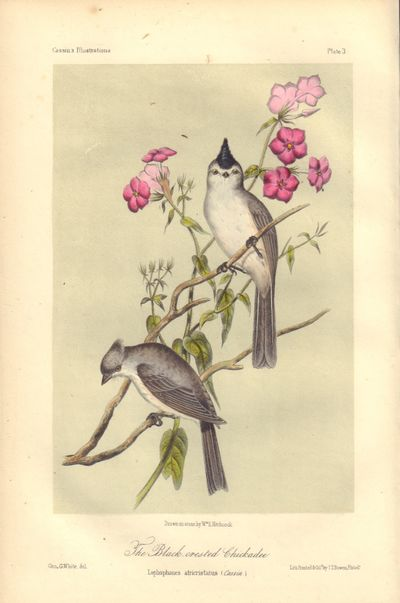 Image for The Black-crested Chickadee: Lophophanes atricristatus (Black-crested titmouse [Baeolophus atricristatus]) Plate 3 in Illustrations of the Birds of California, Texas, Oregon, British and Russian America.