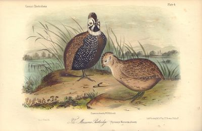 Image for The Moassena Partridge:Cyrtonyx Massena Plate 4 in Illustrations of the Birds of California, Texas, Oregon, British and Russian America.