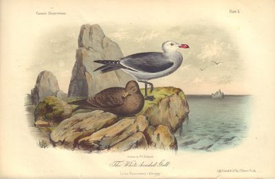 Image for The White-headed Gull: Larus Heermanni Plate 5 in Illustrations of the Birds of California, Texas, Oregon, British and Russian America.