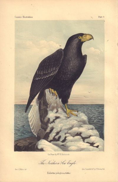 Image for The Northern Sea Eagle: Haliaëlus pelagicus Plate 6 in Illustrations of the Birds of California, Texas, Oregon, British and Russian America.
