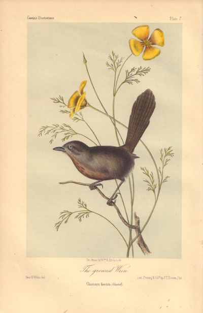 Image for The grounded Wren: Chamaea fasciata Plate 7 in Illustrations of the Birds of California, Texas, Oregon, British and Russian America.
