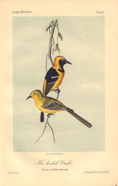 Image for The hooded Oriole: Ieterus cucullatus Plate 8 in Illustrations of the Birds of California, Texas, Oregon, British and Russian America.