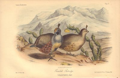 Image for Gambels Patridge: Callipepla Gambelii Plate 9 in Illustrations of the Birds of California, Texas, Oregon, British and Russian America.