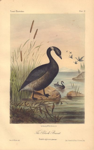 Image for The Black Brant: Bernicla nigricans Plate 10 in Illustrations of the Birds of California, Texas, Oregon, British and Russian America.