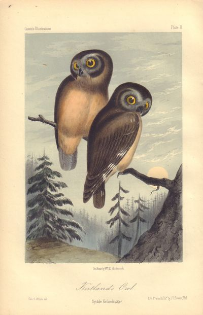 Image for Kirtland's Owl: Nyctale Kirtlandii Plate 11 in Illustrations of the Birds of California, Texas, Oregon, British and Russian America.