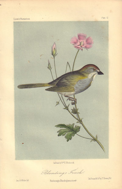 Image for Blanding's Finch: Ernbernagra Blandingiana Plate 12 in Illustrations of the Birds of California, Texas, Oregon, British and Russian America.