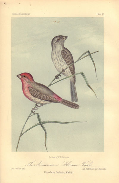 Image for The American House Finch: Carpodacus familiaria. Plate 13 in Illustrations of the Birds of California, Texas, Oregon, British and Russian America.