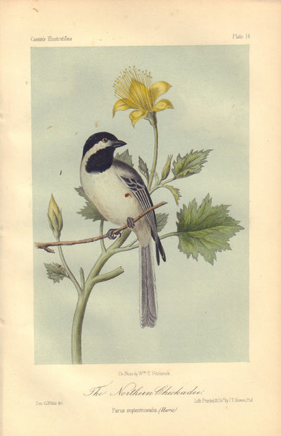 Image for The Northern Chickadee: Parus septentrionalis Plate 14 in Illustrations of the Birds of California, Texas, Oregon, British and Russian America.