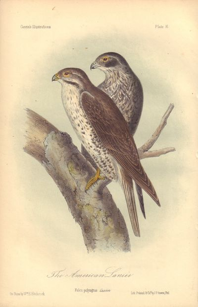 Image for The American Lanier: Falco polyagrus Plate 16 in Illustrations of the Birds of California, Texas, Oregon, British and Russian America.