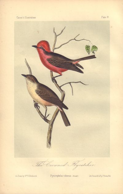 Image for The Grounded Flycatcher: Pyrocephalus rubineus Plate 18 in Illustrations of the Birds of California, Texas, Oregon, British and Russian America.