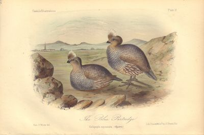 Image for The Blue Partridge: Callipepla squamata Plate 19 in Illustrations of the Birds of California, Texas, Oregon, British and Russian America.