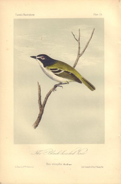 Image for The Black-headed Vireo: Vireo atricapillus Plate 24 in Illustrations of the Birds of California, Texas, Oregon, British and Russian America.