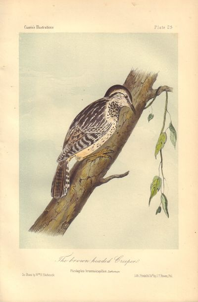 Image for The brown headed Creeper: Picolaptes brunneicapillus Plate 25 in Illustrations of the Birds of California, Texas, Oregon, British and Russian America.
