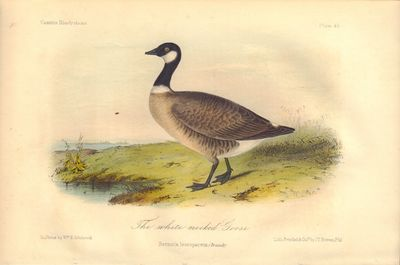 Image for The white necked Goose: Bernicla Leucopareus Plate 45 in Illustrations of the Birds of California, Texas, Oregon, British and Russian America.